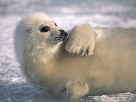 harp seal - harp, ice, seal, animal