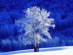 Frosted Aspen Tree
