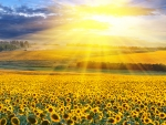 Bright Sunflowers Field
