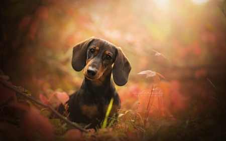 dachshund - cute, dachshund, animals, dogs