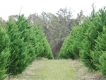 A Forest Of Christmas Trees