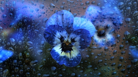 Pansies - wet, drops, spring, pansy, glass, water, flower, rain, blue