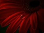 DROPLET ON GERBERA
