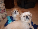 Cute Peke Boys!