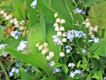 Forget Me Not With Lily Of The Valley