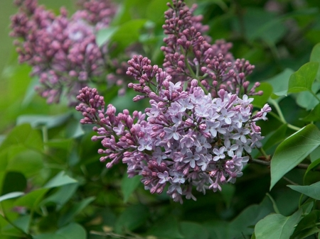 PURPLE LILACS - LILACS, FLOWERS, PURPLE, PRETTY