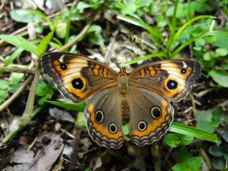 BEAUTIFUL BUTTERFLY - BEAUTIFUL, INSECT, BUTTERFLY, IMAGE
