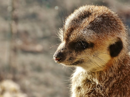 CUTE LITTLE MEERKAT - LITTLE, MEERKAT, CUTE, ANIMAL