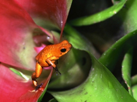 FROG IN BROMELIAD - BROMELIAD, FROG, ORANGE, PLANT