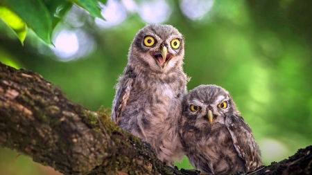 Angry Owls - birds, mad, branch, owls, scowl, angry, cranky, tree, predators, Firefox Persona theme