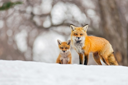 Red Foxes - red foxes, snow, foxes, kits, winter