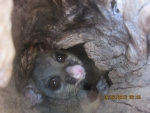 Possum in the hole