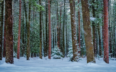 Winter Forest - forest, trees, trunks, winter, snow, red pines, tree trunks, Pinus resinosa, branches