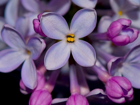 Very pretty lilacs flowers nature background wallpapers on very pretty lilacs flowers pretty lilac nature mightylinksfo