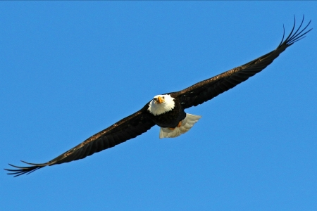 A Majestic Bald Eagle - birds, eagle, animals, nature