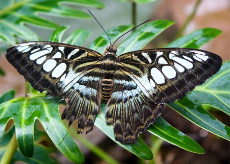 black and white butterfly - leaf, plant, insect, anima, butterfly