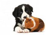 Border Collie puppy and tricolor guinea pig