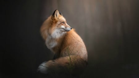 Red Fox - red fox, fox, wild, tail