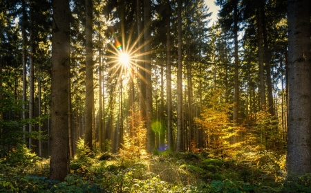 Sunbeam Through The Trees - rays, lights, trees, nature, sunbeam