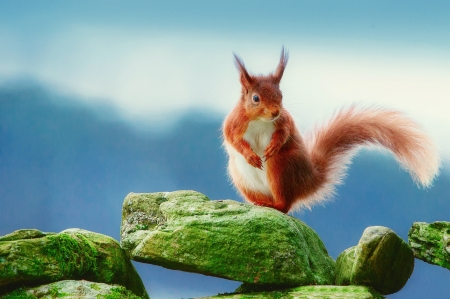 Squirrel - cute, red, squirrel, veverita, stone, green, animal, blue