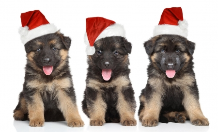 Cute puppies - red, craciun, christmas, caine, tongue, animal, cute, trio, white, dog, puppy