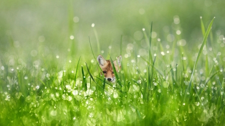 Baby Fox and Dew Drops - grass, dew, drops, baby fox, morning dew, kit, green, fox, water drops, morning, dew drops, field