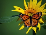 Butterfly on Sunflowers
