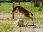 Filly  Jumping Over Dog