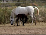 Two Day Old Baby Egyptian Arabian Horse
