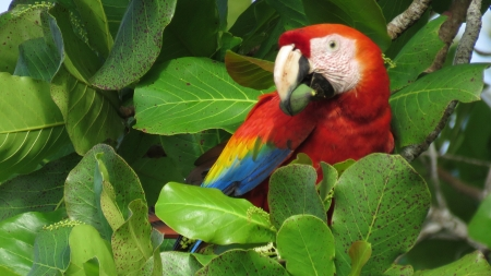 macaw - macaw, parrot, bird, animal