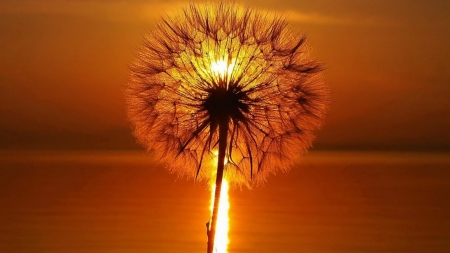 Sunset Through Dandelion - dandelion, orange, summer, nature, sunset, reflection, oceam, sea
