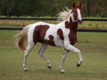 Chestnut Paint Stallion