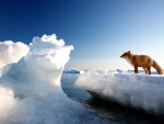 Red Fox On Floating Ice