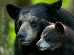 Black Bear Female And Spring Cub