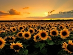 sunset over flowers