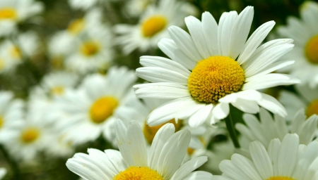 DAISIES - STEMS, PETALS, LEAVES, COLORS