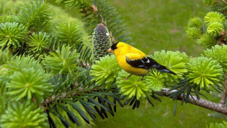 GOLDFINCH - FEATHERS, BRANCH, TREE, COLORS