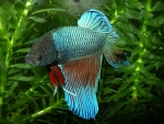 betta siamese fighting fish