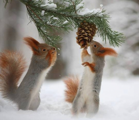 squirrels - photography, snow, squirrels, nature, forests, animals, winter