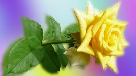 Yellow rose flowers nature background wallpapers on desktop yellow rose yellow rose leaves flower mightylinksfo