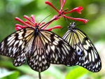 butterflies in hawaii