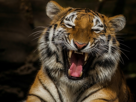 Roaring Tiger - tooth, wiskers, tiger, funny, fangs, animal, canine