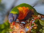 Colorful Rainbow Lorikeet