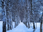 Winter Birch Alley