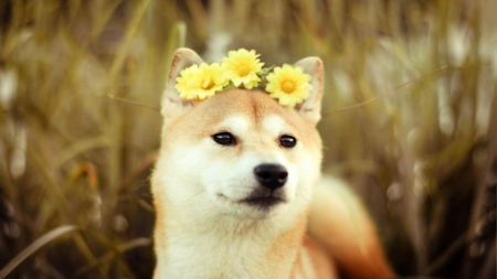 Cool Shiba Inu Anime Adorable Dog - 2350163-bigthumbnail  Perfect Image Reference_89721  .jpg