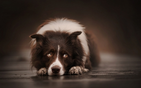 Waiting - cute, border collie, brown, waiting, caine, paw, animal, dog