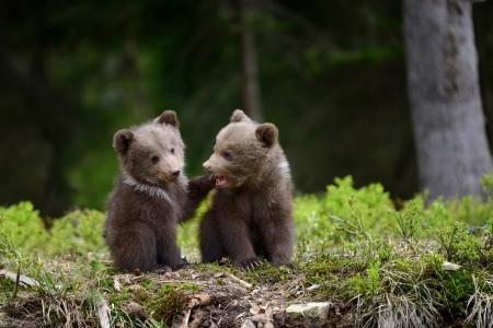 Bear Cubs Bears Animals Background Wallpapers On Desktop Nexus
