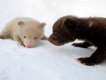 Brown And An Albino Cubs
