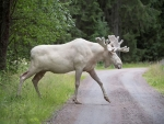 Rare white elk in Sweden