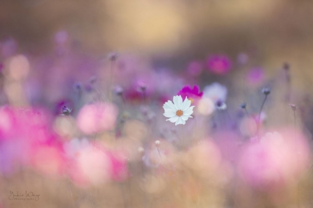Lovely flowers - Pink, Pastel, Flowers, White, Bokeh